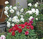 養福寺の門には八重桜、庭には牡丹が咲き誇る